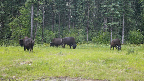 Bison grazing Canada mountain forest nature P HD 7689 Filmmaterial