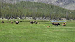Bison herd wildlife meadow river Yellowstone Park 4K Footage