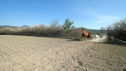 Beautiful horses in sunny summer day running in dust. Herd of mixed bred horses run fast in field Live Action