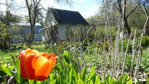 Country house in spring ,red tulips Live Action