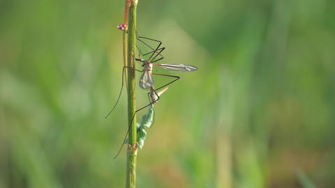 Insect Tipula or Marsh Crane Fly, Tipula oleracea, mating pair. Couple of common insect European Live Action