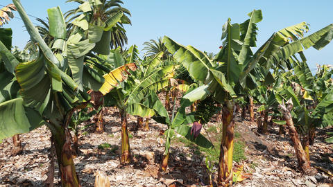 Cinematic side view of the banana plantations of Tenerife on sunny, hot weather Live Action