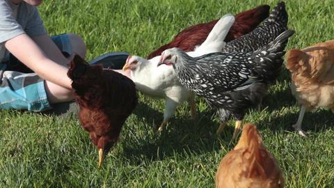 Boy feeding pet chickens on grass P HD 2479 Footage