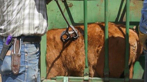 Branding cattle in chute P HD 0631 Live Action