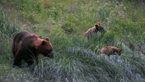 Grizzley Bear and three cubs Alaska P HD 7492 Footage