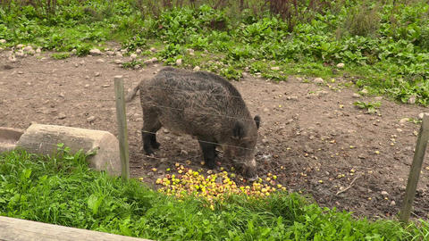 Wild boar eating apples in paddock Live Action