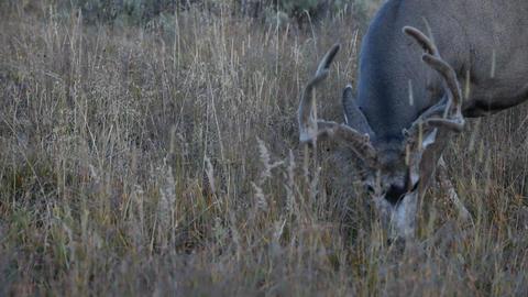 Buck Deer in velvet antlers P HD 2688 Footage