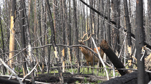 Burnt forest Yellowstone NP bull elk large antlers 4K Footage