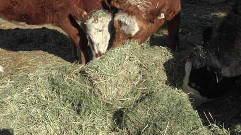 Cattle on small family farm eating alfalfa hay 4K 007 Footage