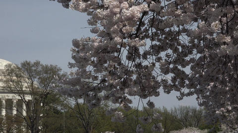 Cherry Blossom to Jefferson Monument Washington DC 4K 046 Live Action