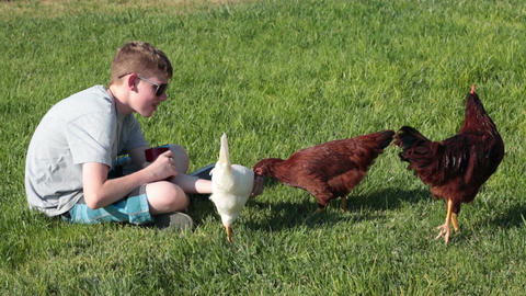 Chickens hand feed by young boy P HD 2472 Footage