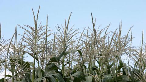 Corn crop in breeze P HD 1939 Footage