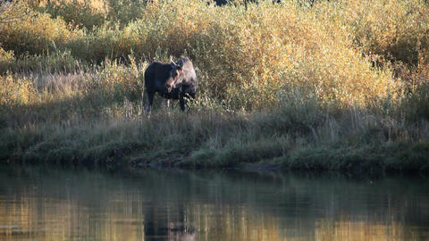Cow Moose on river bank P HD 3100 Footage