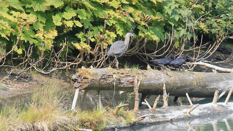 Crane and ravens on log P HD 7681 Footage