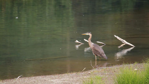 Crane fishing in shallow water P HD 7703 Footage