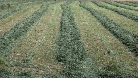 Cut alfalfa hay in rows pan P HD 1928 Footage