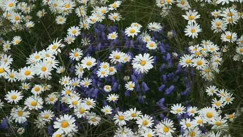 Daisy and Blue Bell flowers P HD 8425 Footage