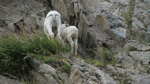 Dall Sheep EWE and lamb P HD 1555 Footage