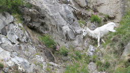 Dall Sheep climb down mountain P HD 1560 Footage