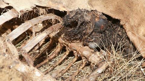 Dead animal bones pan P HD 8052 Footage