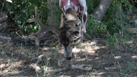 Dead deer hanging P HD 2161 Live Action