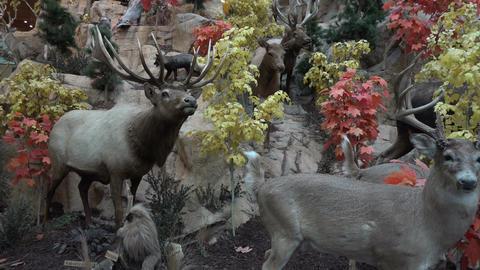 Deer Elk wildlife taxidermy nature outdoor recreation 4K 075 Footage