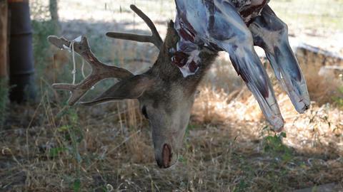 Deer head dead hanging P HD 2151 Footage