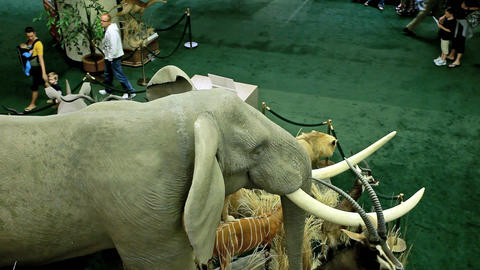 Elephant wildlife museum P HD 7275 Stock Video Footage