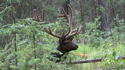 Elk large bull resting forest P HD 1304 Footage