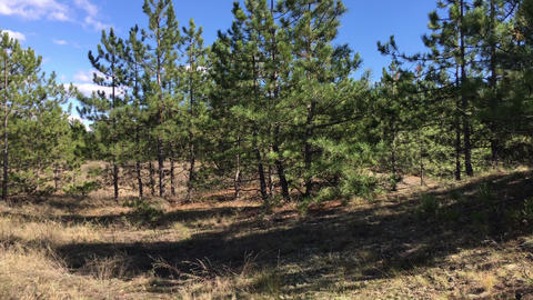 Panorama of pine forest, clear day Footage