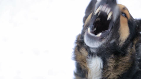evil dog,Barking enraged angry dog outdoors. The dog looks aggressive, dangerous . Furious dog. Live Action