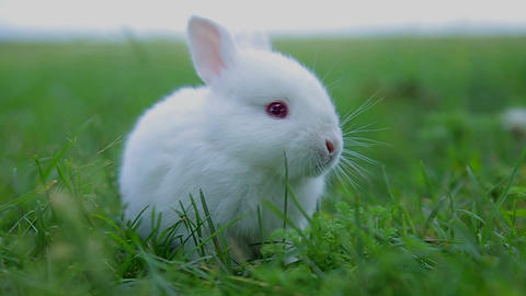 White rabbit in green grass, Calm and sweet little white rabbit sitting on green grass, cute bunny Live Action