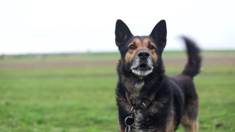 Evil German Shepherd, hungry dog, stupid dog, evil dog Live Action