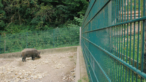 Wild Pig Looking For Food Live Action