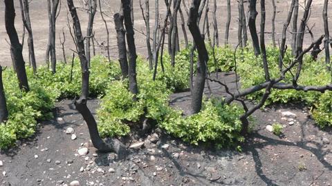 Fire burn area dead trees new growth P HD 2460 Footage