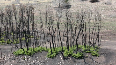 Fire dead trees and new growth of oak brush P HD 2457 Footage