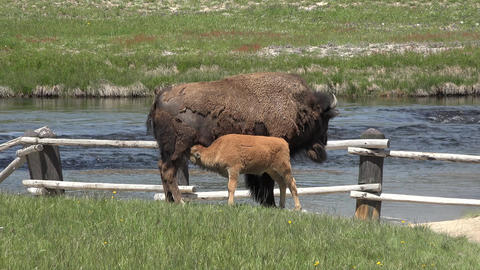 Female Bison feeds young calf by river Yellowstone 4K Footage