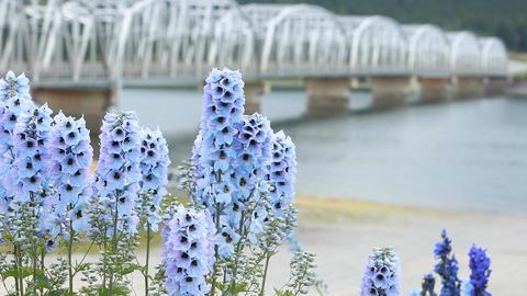 Flower blue bell bridge P HD 0121