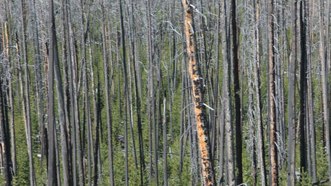 Forest fire new growth pan rt P HD 2451 Footage