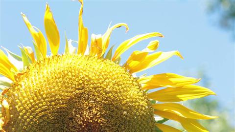 Giant sunflower in gentle breeze P HD 2537 Footage