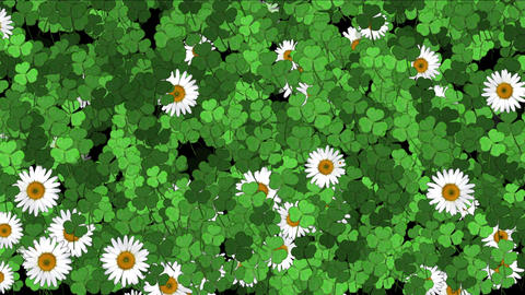 4k Clover white daisy plant vegetation leaf blade background Footage