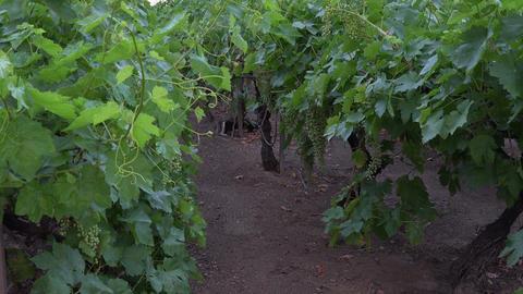 Grape vineyard Brigham Young winter home St George Utah 4K 118 Footage