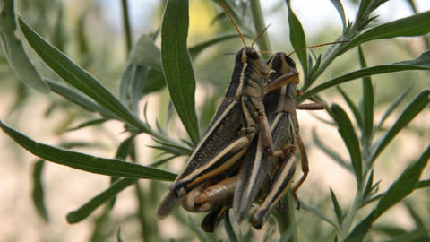 Grasshoppers mating P HD 1624 Footage
