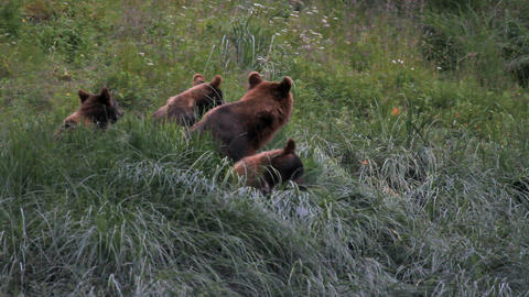 Grizzly Bear sow three cubs P HD 7491 Footage