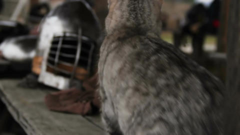 Funny cat looking into camera, knight's steel helmet at historical exhibition Footage