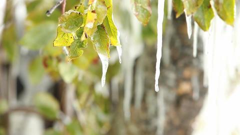 Ice melting tree leaves P HD 8039 Footage
