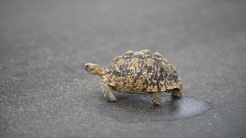 Tortoise walking on tar road Live Action