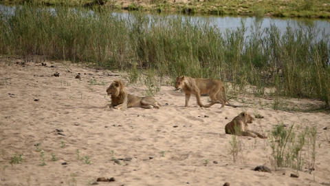 Lions lie down by the river bed Live Action