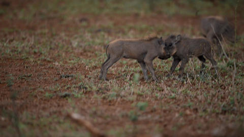 Warthog piglets fighting in the wilderness Live Action
