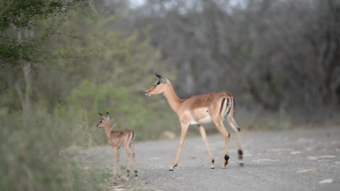 Impala mother with baby impala in the wilderness Live Action